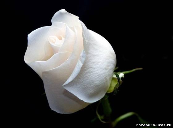 Слушать песню роза белая роза красная